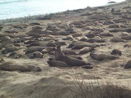 Elephant Seals Big Sur